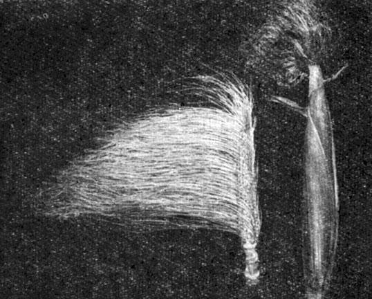 Рис 14 жзнскоэ соцветие початок в